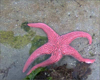 Pink star fish, only visible on low tide in summer