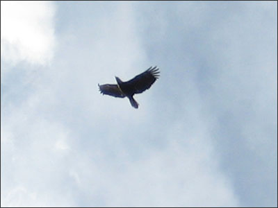 Eagle in Kye Bay
