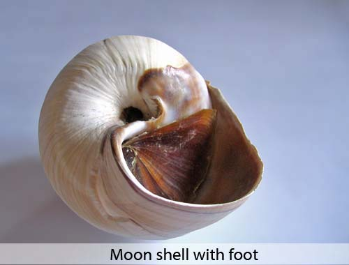Moon shell with foot