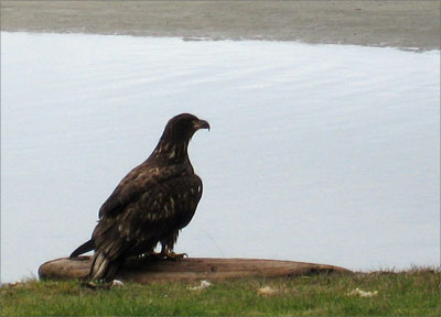 Young eagle taking a rest in my front yard